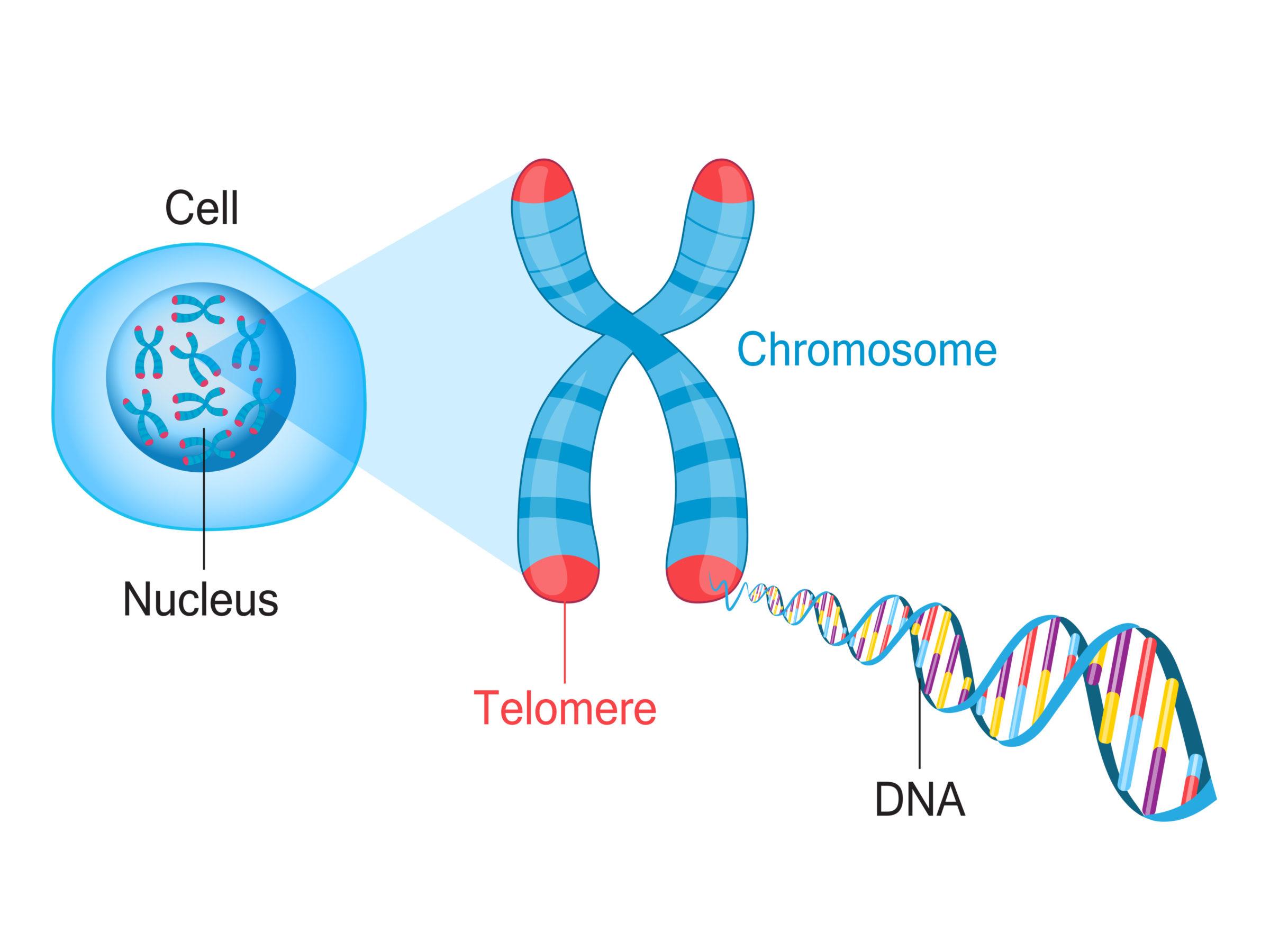 Telomere