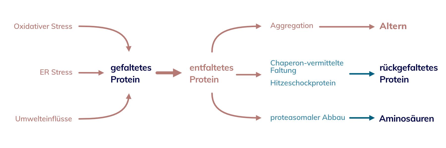Oxidativer Stress Umwelteinflüsse auf Proteine