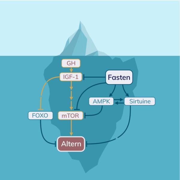 Fasten hemmt den IGF-1 Signalweg, und mTOR. Fasten induziert AMPK und Sirtuine und bekämpft dadurch Altern.