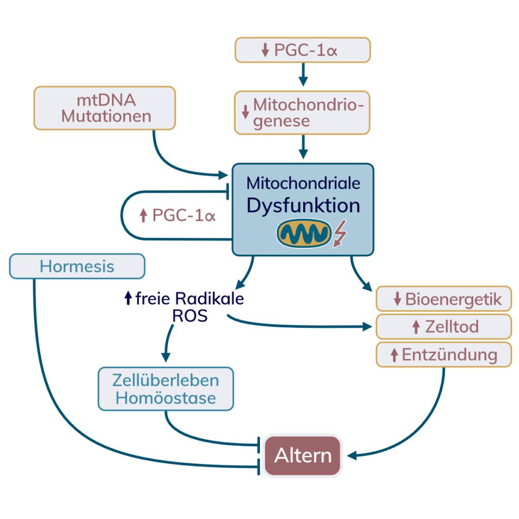 Zusammenfassung der Signalwege rund um Mitochondrien und Altern. Mitohormesis, PGC1a und freien Radikalen wird eine protektive Funktion zugeschrieben.