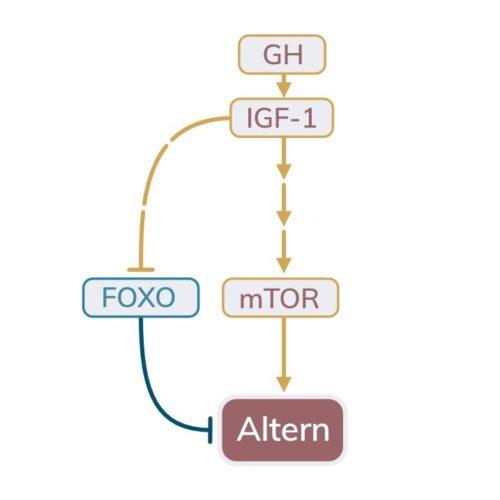 IGF-Signalweg, FOXO, mTOR und Altern