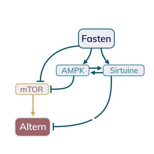 Fasten, mTOR, AMPK, Sirtuine und deren Einfluss auf das Altern