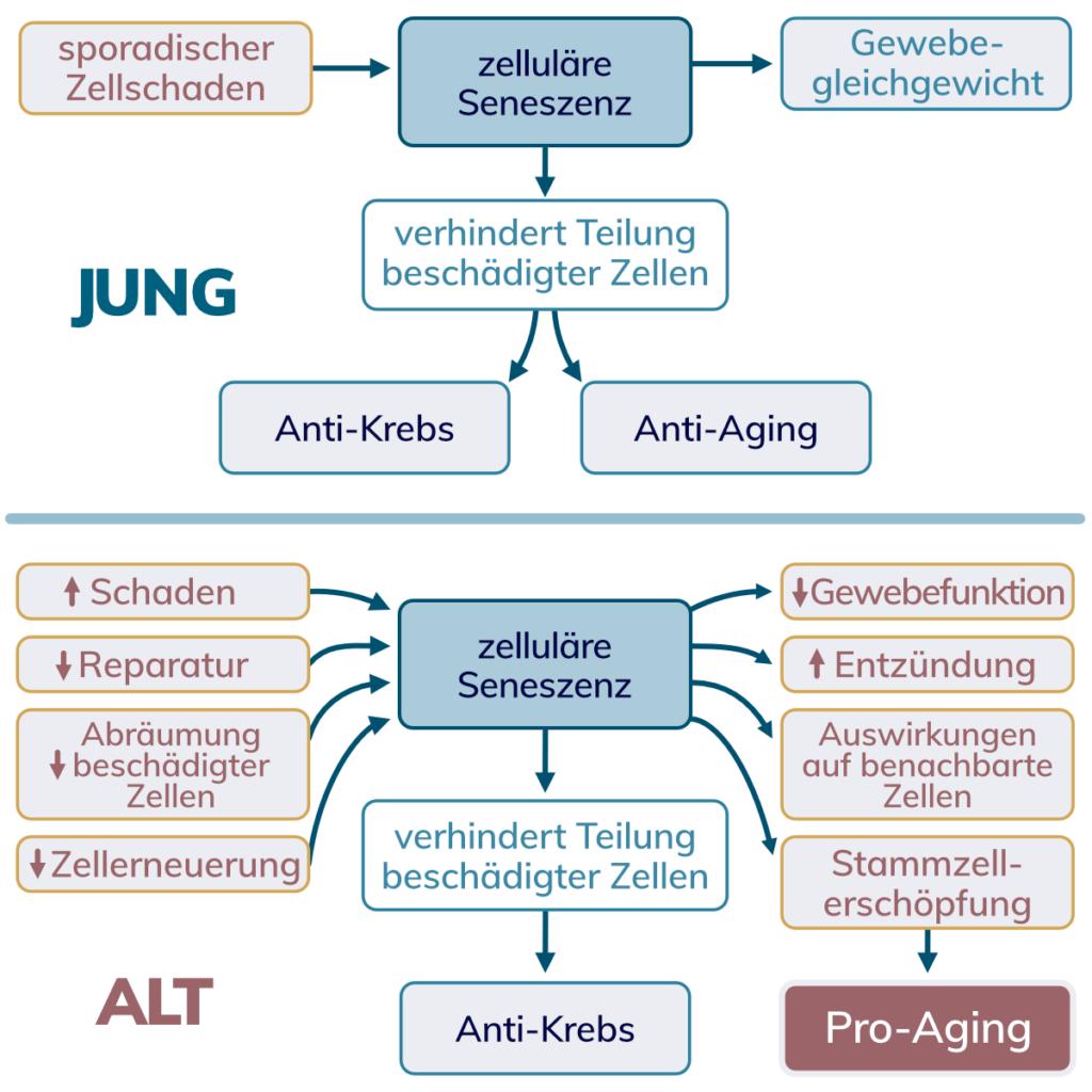 Zusammenfassung der Stoffwechselwege die zu zellulärer Seneszenz führen in jungen und alten Personen