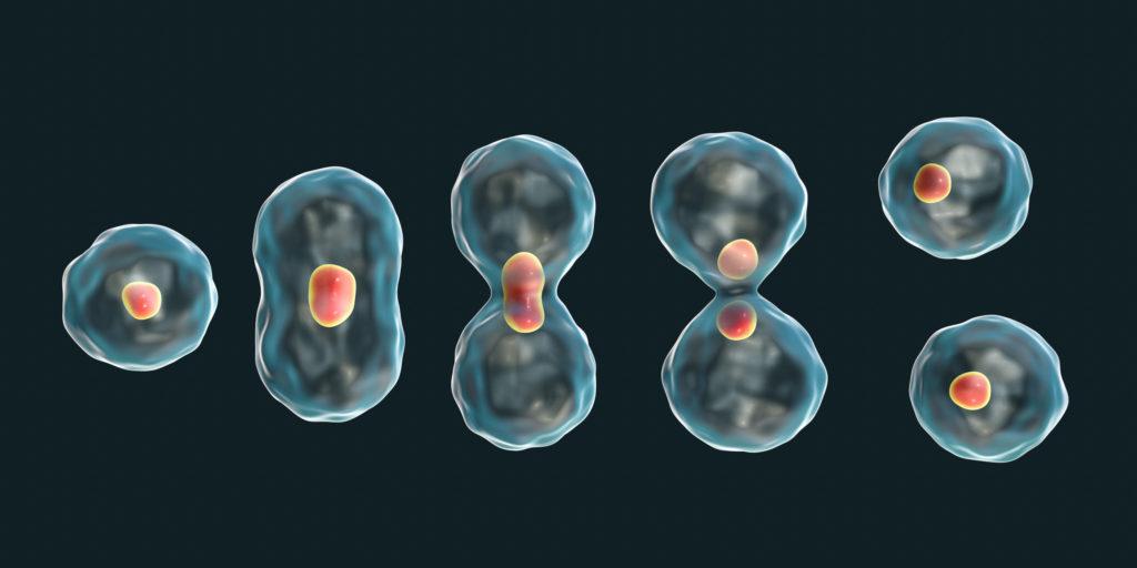 3D-Darstellung des Mitosekonzepts
