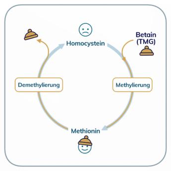 Betain TMG Homocystein Methionin