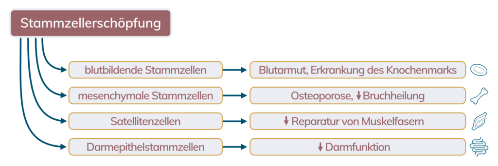 Stammzellerschöpfung. Die Folgen der Erschöpfung von hämatopoetischen Stammzellen (HSC), mesenchymalen Stammzellen (MSC), Satellitenzellen und Darmepithelstammzellen (IESC) werden beispielhaft dargestellt.