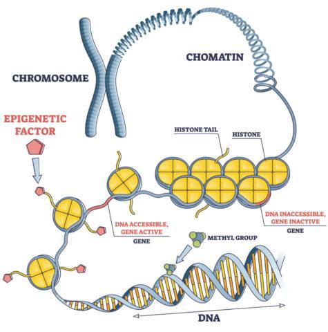 Beispiele epigenetischer Mechanismen im Erbgut: Modifikation der Histone, welche die DNA wie eine Kabeltrommel aufrollen und die Methylierung des DNA-Stranges